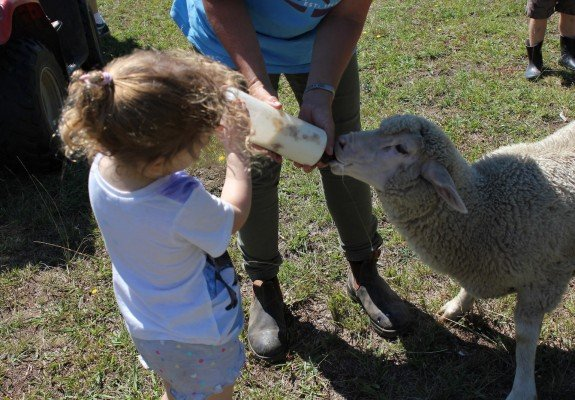 feeding a baby sheep